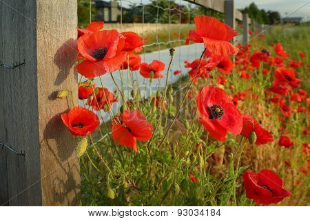 Wild Poppies and Fence