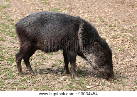 Collared peccary (Pecari tajacu). Wildlife animal.