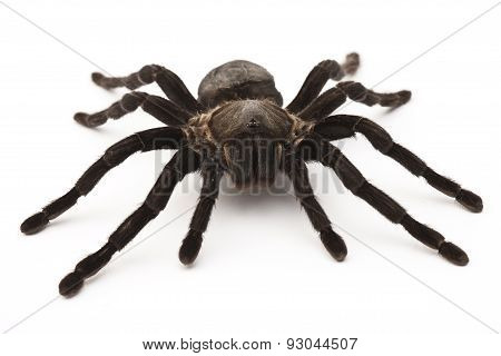 tarantula isolated on white