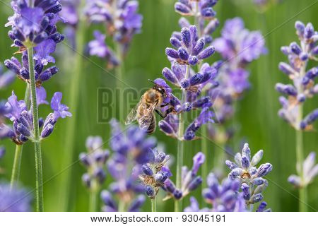 Lavender In Bloom With Bee