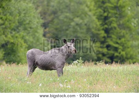 Moose in grass land