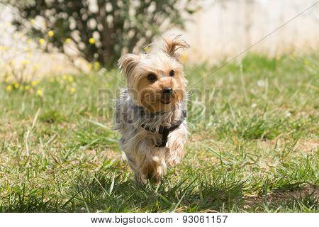 Playful Yorkshire terrier running.