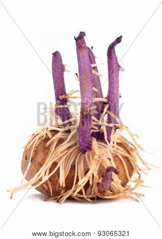 Potato Tuber With Sprouts And Roots On White  Background