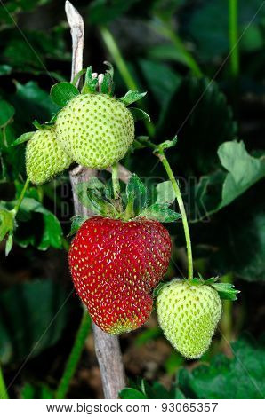 Ripening Of Strawberries