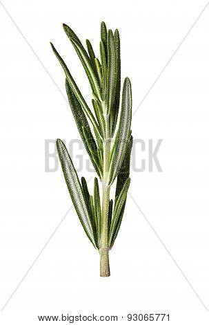 Rosemary Twig Isolated On White Background