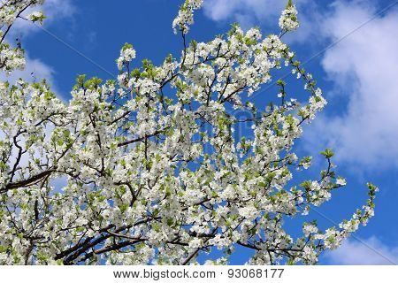 Blossoming Tree Of Plum On Background Of Blue Sky