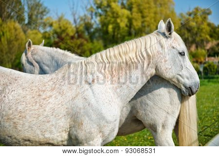 Pair of grey horses standing nose to tail in a a lush green field, close up view of the head and flank of one horse