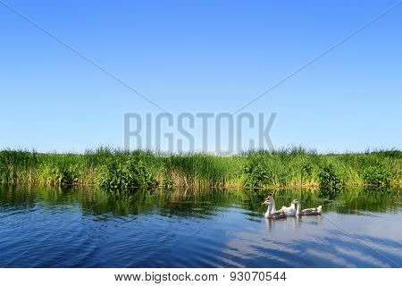 Geese On River Landscape