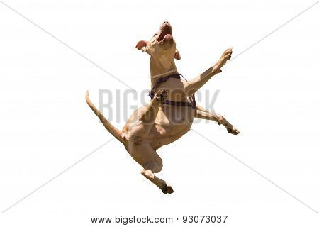 American Staffordshire terrier jumping isolated on white.