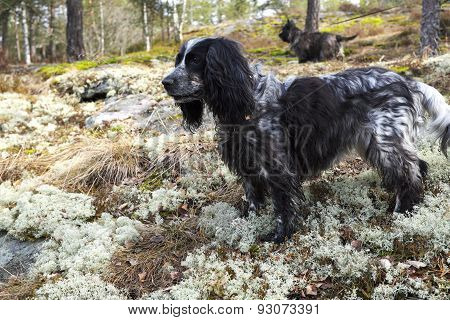 Spaniel And Cairn Terrier In Forest On The Hunt