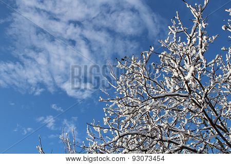 Snow on branches of a tree against the blue sky