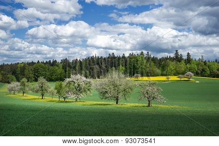Blooming fruit trees in a meadow