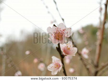 Peach Blossoms In The Rain