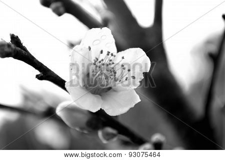 Black And White Closeup Of A Peach Blossom With Raindrops