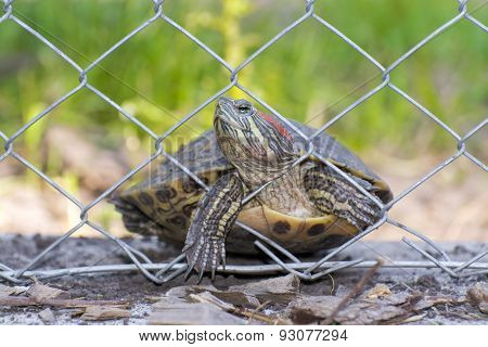 Immigrant Turtle
