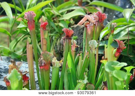 Sarracenia. Exotic Flower