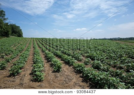 Rows of Potatoes