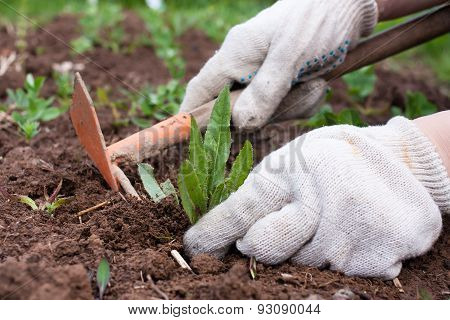 Weeding In The Vegetable Garden