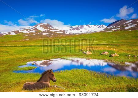 Summer Iceland. Small lake among fields of green grass. At the water resting beautiful Icelandic horse