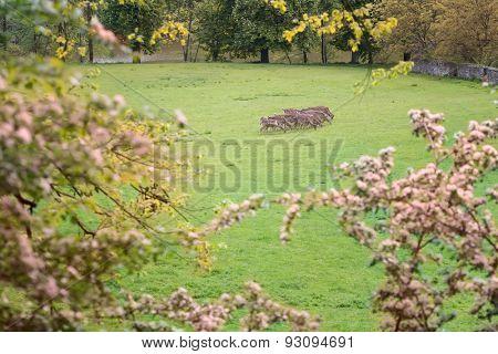 A herd of fallow deer in the woods