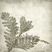 picture of tansy  - textured old paper background with silver tansy leaf - JPG