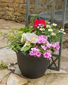 picture of petunia  - Colorful plants in a pot including begonia petunia fuchsia impatiens - JPG