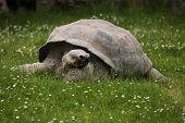 stock photo of tortoise  - Santa Cruz Galapagos giant tortoise  - JPG
