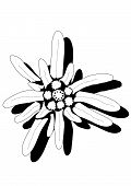 picture of edelweiss  - closeup of edelweiss flower black and white - JPG