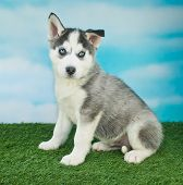 foto of husky  - Cute Husky puppy with beautiful blue eyes sitting outdoors with a blue sky behind him - JPG