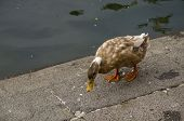 image of duck pond  - A cute little duck taking a stroll around the pond - JPG