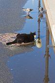 stock photo of tuxedo  - a tuxedo cat trying to catch pigeons - JPG
