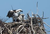 picture of osprey  - Osprey and chick hundle in the nest together - JPG