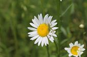 picture of oxen  - a grasshopper is on an ox-eye daisy with a blurred grass background