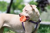 stock photo of pit-bull  - Cute American Pit bull terrier playing with a ball - JPG
