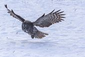 picture of snow owl  - A lone Great Grey Owl in winter