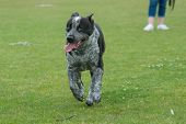 stock photo of heeler  - Happy mix breed seems to smile while running - JPG