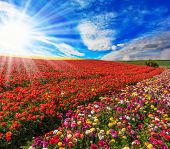 pic of buttercup  -  Huge fields of red and yellow garden buttercups  - JPG