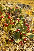 image of prickly-pear  - Opuntia also known as prickly pears with red fruits - JPG
