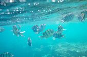 stock photo of sea-scape  - Coral fish in  Red Sea - JPG