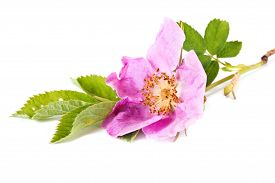 image of wild-brier  - Wild flowering plant a wild rose closeup - JPG