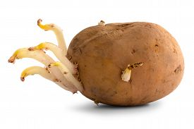 stock photo of germination  - germinating potato with sprouts on the white background - JPG