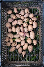 stock photo of germination  - germinating potato before the planting in the box - JPG