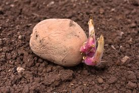 pic of germination  - germinating potato before the planting in the vegetable garden - JPG
