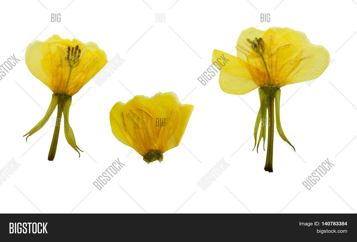 How to scrapbook dried flowers - Pressed And Dried Flowers Evening Primrose Oenothera Biennis Isolated On White Background