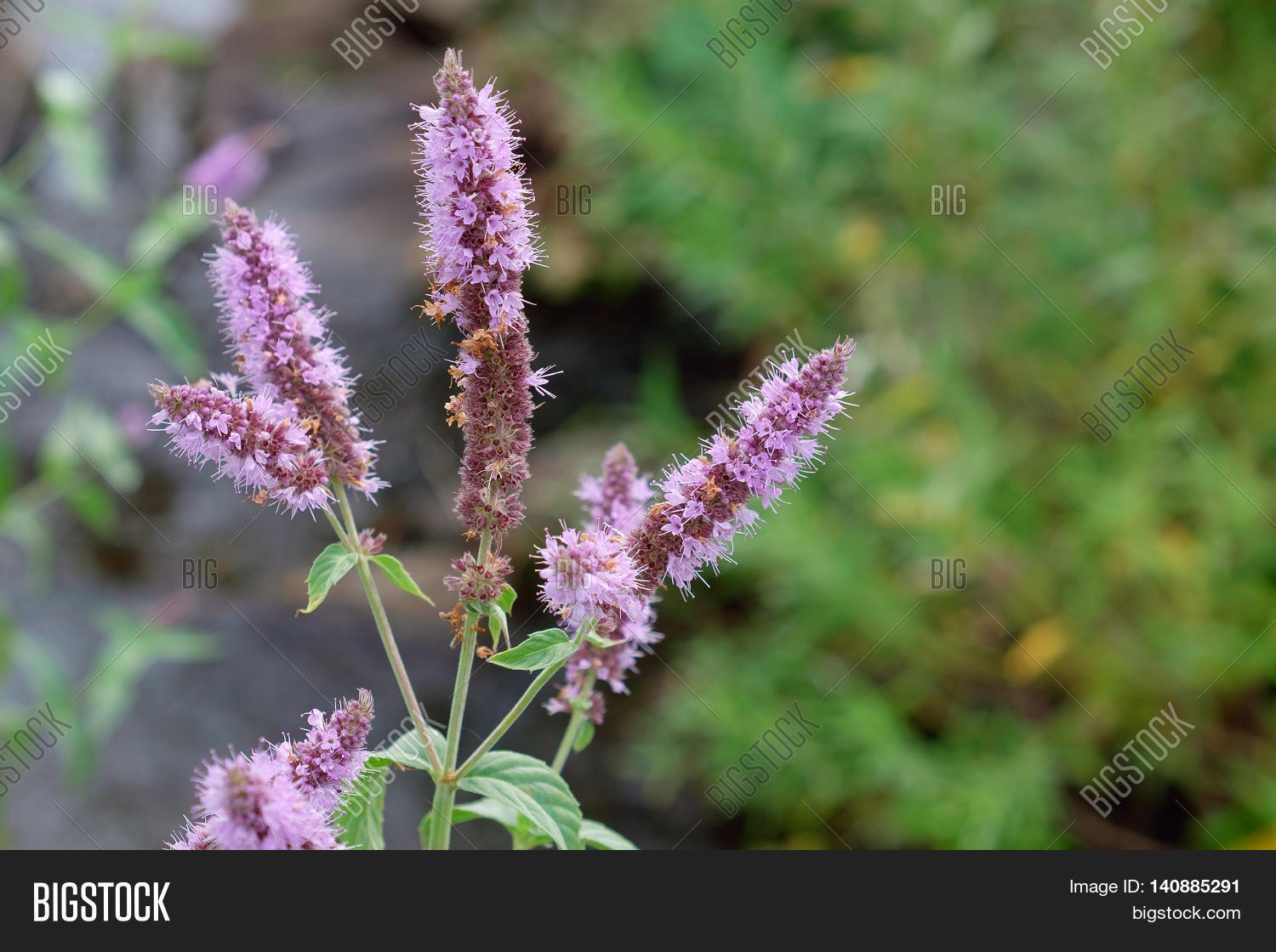 Peppermint Plant Flower In Sunlight Day Stock Photo ...