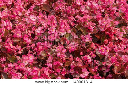 Flowering Red begonias in the flower bed as a background for design