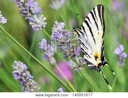 butterfly sucking nectar from flowers of lavender.