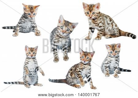 Cute Bengal Kittens in different poses isolated on white background collection