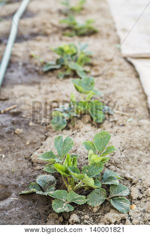 A row of strawberries, plantation of strawberries
