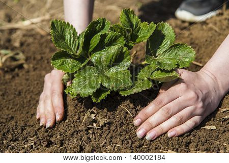 Woman planting strawberry bush in spring in garden